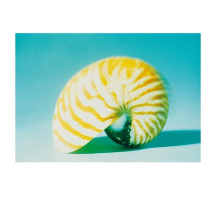 Conches Nautilus blau