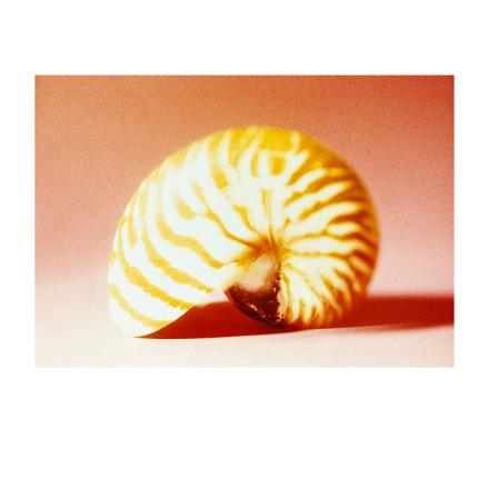 Conches Nautilus vermell